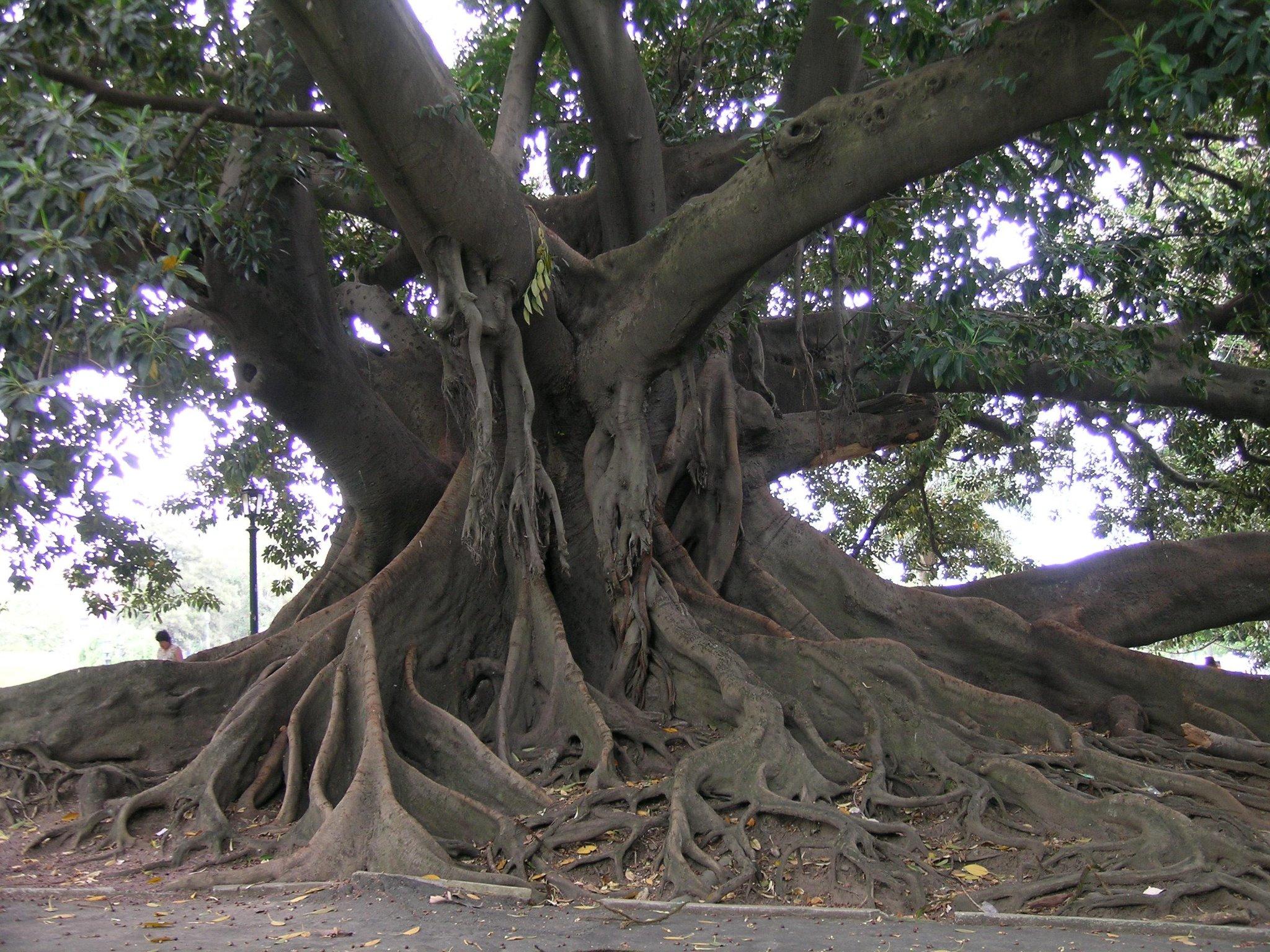 El árbol Más Antiguo De La Argentina